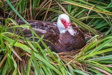 White And Black Duck With Red Head Sits In Nest, The Muscovy Duck