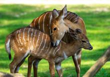 Baby Nyala Antelope - Tragelaphus Angasii. Wild Life Animal.