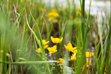 Yellow Flowers Of Caltha Palustris On The River Bank Among Green Grass.