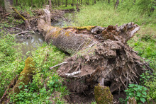 Uprooted Tree In Floodplain Forest