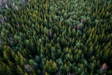 Aerial View Of Young Spruce Forest In Evening Light, Kaunas, Lithuania.