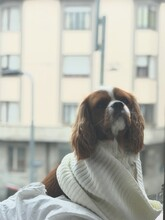 Portrait Of A Young Dog Cavalier King Charles