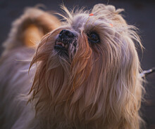 Cute Puppy Of Yorkshire Terrier Breed Looking Up In A Park