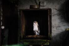 White Owl Sleeping