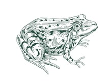 Big Adult Frog Drawn In Vintage Style. Detailed Etching Toad With Bulging Eyes. Engraving Amphibian Aquatic Swamp Animal. Handdrawn Vector Illustration Isolated On White Background