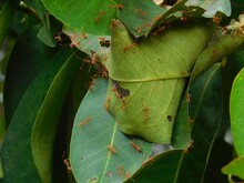 Ants On Leaf, Home Of Ants