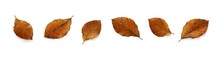 A Collection Of Dried, Dry Autumn Beech Tree Leaves Isolated On A White Background. High Resolution.