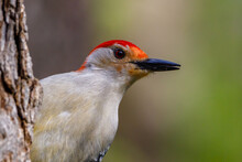 Close Up Portrait Of A Male Red-bellied Woodpecker (Melanerpes Carolinus) Perched On A Tree Trunk During Spring.