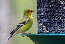 Close Up Of A American Goldfinch (Spinus Tristis) Perched On A Bird Feeder Feeding On Sunflower Seeds During Spring. Selective Focus, Background Blur And Foreground Blur.