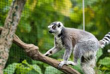 Portraits Of Lemurs For Madagascar