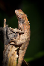 Beautiful Central Bearded Dragon On A Tree Trunk With Dark Background
