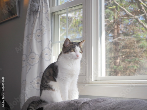 The cat appears to be looking out the window. Fototapeta
