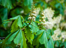 Blooming Chestnut Large Trees With Brown Flowering Chestnuts With Green Foliage Very Beautiful