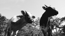 Young Beef Calves During Summer Close Up For Cow Farm Scene.