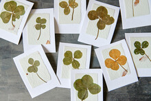 Dried Lucky Four Leaf Clover On Handmade Greeting Cards