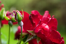 Red Rose Buds Budding In The Garden With Water Drops Over Natural Green Background With Leafs. Focused On The Bud On The Left