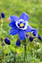 Blue Aquilegia Flower In A Green Meadow