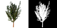 Front View Of Plant (Paperbark Maple Reduced- 1) Tree Png With Alpha Channel To Cutout Made With 3D Render