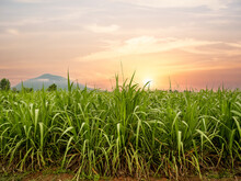 Sugar Cane Field  With Sunset