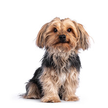 Scruffy Adult Black Gold Yorkshire Terrier Dog, Sitting Up Facing Front. Looking Towards Camera. Isolated On A White Background.