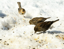 Two Female Red-winged Blackbirds Eating Seeds On Snow, With A Sparrow On The Background; On A Sunny Day