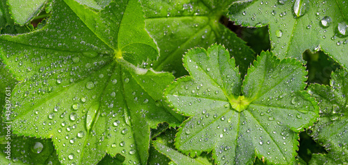 Full frame greenery background - Lady's Mantle (Alchemilla mollis) leaves with drops of morning dew Fototapeta