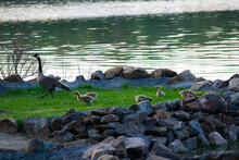 Family Of Geese At Waterfront.  Adult Goose And Several Baby Geese At The Edge Of Blue Lake Water.  Canada Canadian Geese Family.  Blue Lake Rock Wall And Green Grass.