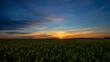 Ein blühendes Rapsfeld bei Sonnenuntergang