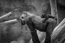 Baby Gorilla Sleeping On Mum