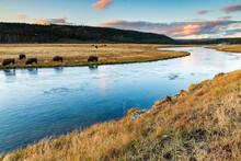 Dramatic Autumn Sunset Take In Firehole River W/ Bisons Grazing  In The Lower Geyser Basin In Yellowstone National Park In Wyoming.
