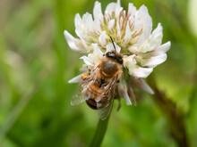 シロツメクサの蜜を集めるミツバチ
