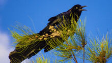 Bird: Great-tailed Grackle  (Quiscalus Mexicanus), Looks Like A Crow And Looks A Little Bit Terrorific, In Mexico Is Better Know As Chanate Or Zanate