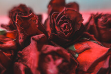 Red Roses Rosa Dry Flowers As Floral Autumn Dark Black Vintage Botanical Grainy Noisy Blurred Romantic Intimate Decorative Pattern Background Wallpaper Backdrop