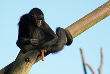 Spider Monkey In A Zoo In France