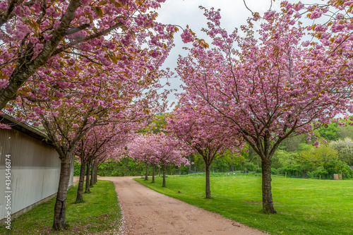 Foto Japanese cherry trees on the avenue
