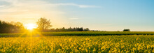 Blühendes Gelbes Rapsfeld Im Sonnenuntergang
