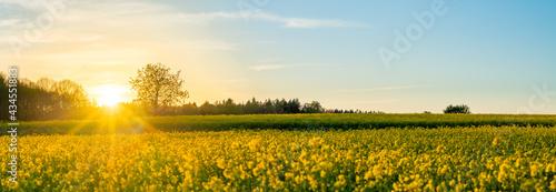 Canvas-taulu Blühendes gelbes Rapsfeld im Sonnenuntergang