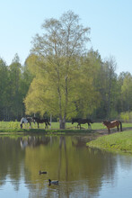 Misty Landscape With Herd Of Horses Grazing In Green Pasture Under Green Birch Tree By Blue Pond On Calm And Sunny Spring Day. Two Mallard Ducks Swimming In The Pond.