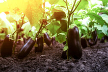 Ripe Eggplant On A Branch In The Greenhouse At Sunset. Growing Fresh Aubergine On Branch At Sunset. Bio Farming Concept