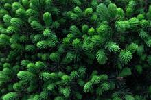Fresh Green Growths On  Fir Trees