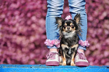Chihuahua Dog Sitting Between Legs Of The Owner Against Blooming Cherry Trees