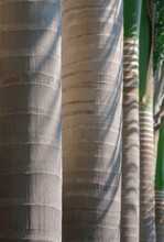 Selective Focus At Trunk Of Manila Palm On Foreground With Sunlight And Shadow On Surface In Botanical Garden, Close Up And Vertical Frame