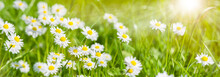 Panoramic Banner With Daisies In Grass