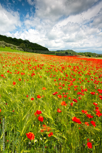 field of poppies #434598036