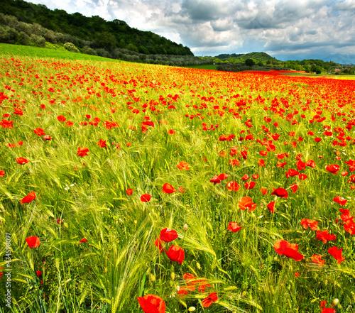 field of poppies on the italian hills #434598097