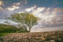 Coastline Tree