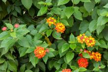 Beautiful Flowers Of Lantana Camara (common Lantana) Plant
