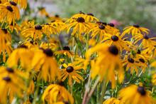 Rudbeckia Hirta Yellow Flower With Black Brown Centre In Bloom, Black Eyed Susans Flowering In The Garden