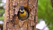 Baby Woodpecker  Calls For His Mother And She Comes To Feed Him. Campo Flicker (Colaptes Campestris) In Bird Nest.