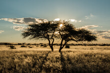 Silhouette Of Acacia Tree In Sunset Light In Namibia Kalahari Desert